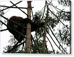 Bearly Hanging On Acrylic Print by Nick Gustafson