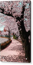 Beatiful Spring In Japan -road Filled With Cherry Blossom- Acrylic Print