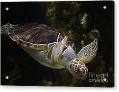 Beautifu Sea Turtle Acrylic Print by Paulette Thomas
