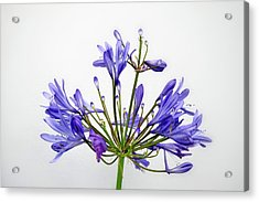 Beautiful Agapanthus Flower - The Blue Trumpets Are Perfectly Lit By Natural Daylight Acrylic Print