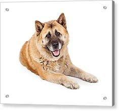 Beautiful Akita Dog Laying Acrylic Print by Susan Schmitz