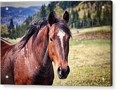 Beautiful Bay Horse In Pasture Acrylic Print