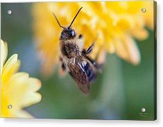 Beautiful Bee Acrylic Print