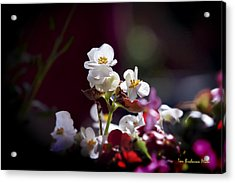 Beautiful Begonia Acrylic Print