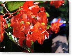 Beautiful Begonias Acrylic Print by Lynne Guimond Sabean