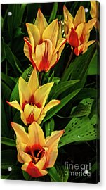 Acrylic Print featuring the photograph Beautiful Bicolor Tulips by Robert Bales