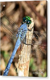 Beautiful Blue Eyes Acrylic Print by Carol Groenen