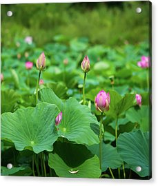 Beautiful Buds Of Asian Lotuses Acrylic Print