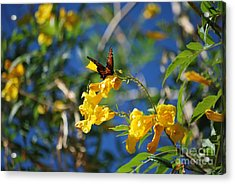 Beautiful Butterfly Acrylic Print by Donna Greene
