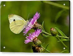 Beautiful Butterfly On Pink Thistle Acrylic Print