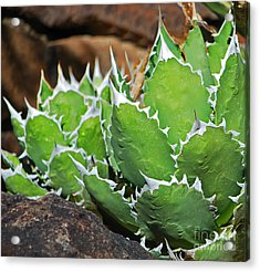 Beautiful Cactus Acrylic Print by Donna Greene