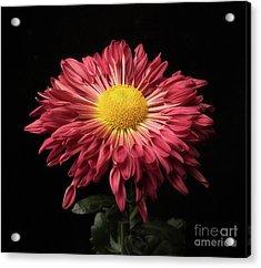 Beautiful Chrysanthemum Acrylic Print
