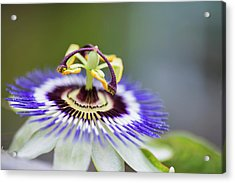 Beautiful Close Up Image Of Passion Flower On The Vine Acrylic Print by Matthew Gibson
