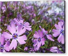 Beautiful Creeping Purple Phlox Acrylic Print