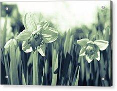Beautiful Daffodil Acrylic Print