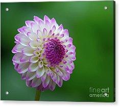 Beautiful Dahlia 1 Acrylic Print