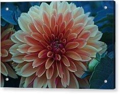 Beautiful Dahlia 3 Acrylic Print
