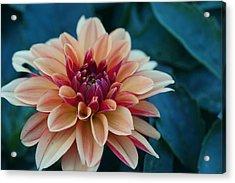 Beautiful Dahlia 4 Acrylic Print