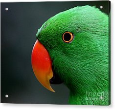 Beautiful Eclectus Parrot Acrylic Print