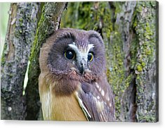 Beautiful Eyes Of A Saw-whet Owl Chick Acrylic Print