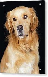 Beautiful Golden Retriever Dog Closeup Acrylic Print by Susan Schmitz