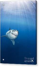Beautiful Great White Acrylic Print by Dave Fleetham - Printscapes
