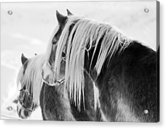 Beautiful Horse Acrylic Print by Martin Rochefort