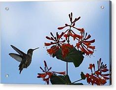 Beautiful Hummingbird Acrylic Print by Cinneidi Comfort