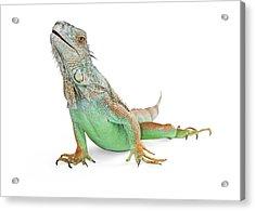Beautiful Iguana Lizard Isolated On White Acrylic Print