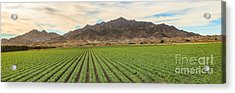Beautiful Lettuce Field Acrylic Print by Robert Bales