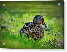 Acrylic Print featuring the photograph Beautiful Mama Duck by Linda Unger