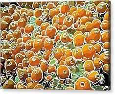 Beautiful Marine Plants 3 Acrylic Print by Lanjee Chee