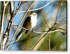 Beautiful Mockingbird Acrylic Print by Teresa Blanton