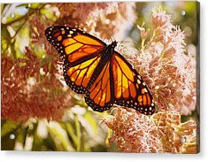 Beautiful Monarch Acrylic Print by Beth Collins
