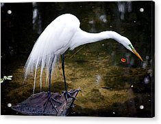 Beautiful Plumage Acrylic Print