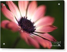 Beautiful Rich African Daisy Zion Red Flower Acrylic Print