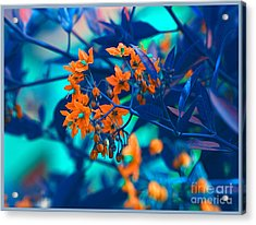 Acrylic Print featuring the photograph Beautiful Solanum Septemiobum Flowers  by Lance Sheridan-Peel