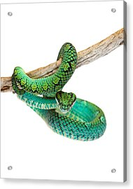 Beautiful Sri Lankan Palm Viper Acrylic Print
