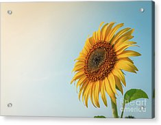 Beautiful Sunflower And Sun Light Form Top Left. Acrylic Print by Tosporn Preede