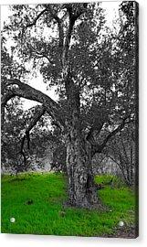 Beautiful Tree Acrylic Print by Bransen Devey