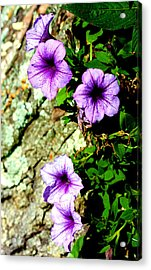 Beautiful Violets Acrylic Print