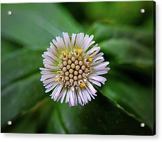 Beautiful White Flower Acrylic Print by Argie Dante