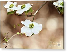 Acrylic Print featuring the photograph Beautiful White Flowering Dogwood Blossoms by Stephanie Frey
