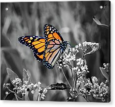 Beautiful Wings - Color Select Acrylic Print