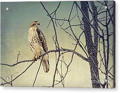 Red-tailed Hawk On Watch Acrylic Print