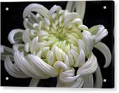 Beauty In White Acrylic Print by Jessica Jenney