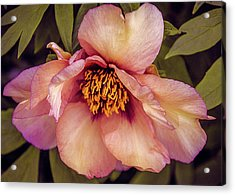 Acrylic Print featuring the photograph Beauty Of A Peony  by Julie Palencia