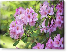 Beauty Of Pink Rhododendron Acrylic Print