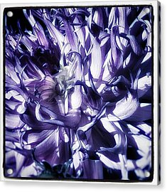 Beauty Out Of Chaos. No Wonder Dahlias Acrylic Print by Mr Photojimsf