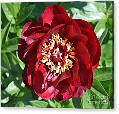 Beauty Peony Bloom Acrylic Print by Marsha Heiken